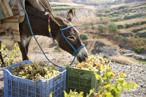 Donkey eating grapes when he shouldn't in Greece